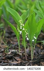 Flowers of Lily of the valley, Convallaria majalis.