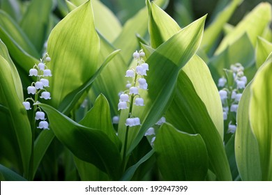 Flowers of Lily of the valley, Convallaria majalis