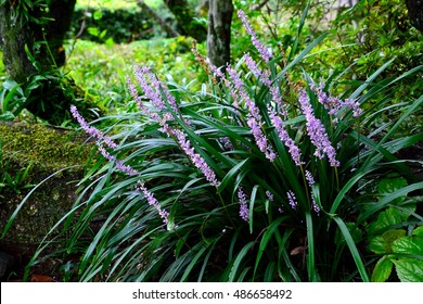 Flowers of Lilyturf or Liriope muscari