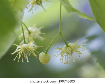 Flowers of the linden tree known as Lime Blossom and used dried for a herbal tea or tincture with medicinal properties