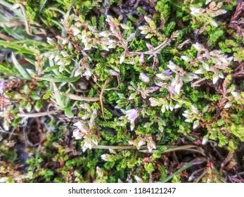 Flowers of ling or heather plant, Calluna vulgaris, growing in Galicia, Spain