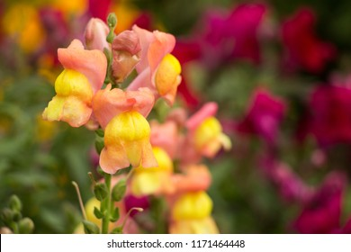 flowers of the lion's pharynx