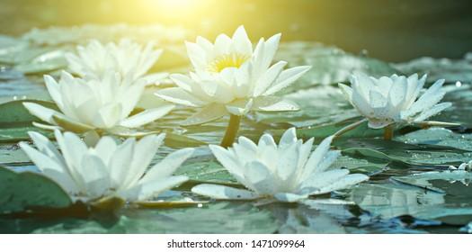 Flowers Lotus flowering on background of blurry water lilies flowers. Flowering pond.