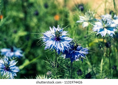 Flowers of Love-in-a-mist. Gently blue flowers of ragged lady (Nigella damascena)