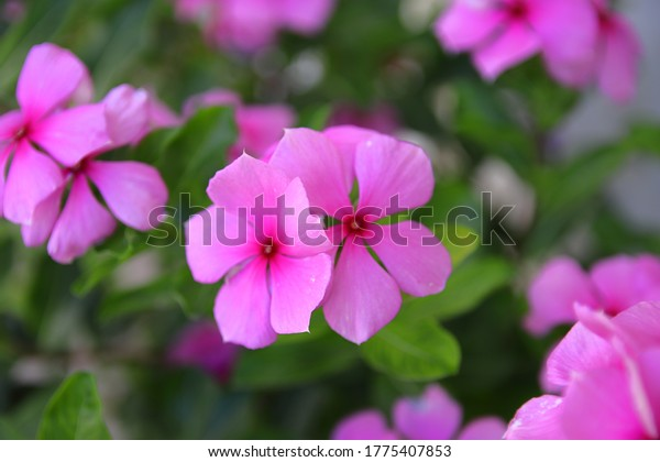 flowers-madagascar-periwinklealso-known-