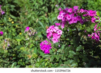 Flowers of magenta phlox in the garden (Phlox paniculata)