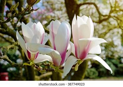 Flowers magnolia close up in sunlight
