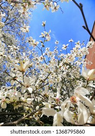 Flowers of magnolia during flowering in the summer