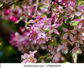 Flowers of malus sylvestris blooming in the spring. Malus sylvestris, the European crab apple, is a species of the genus Malus, native to Europe.