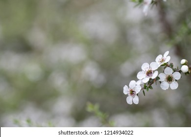 Flowers of the Manuka tree from which bees make honey with medicinal properties