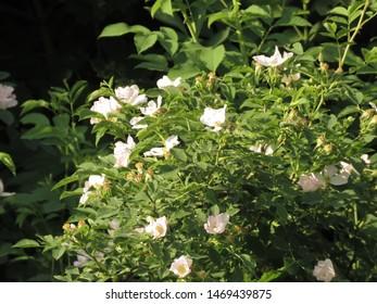 flowers of many flowered rose, Rosa multiflora,