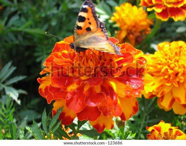 flowers, marigold, butterfly