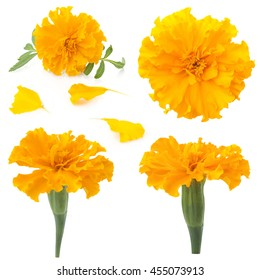 flowers of marigold on a white background