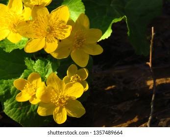 flowers of Marsh marigold, Caltha palustris,
