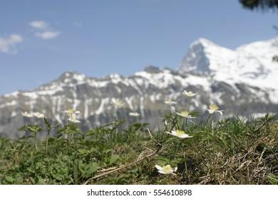 Flowers and the Matterhorn in Switzerland, landscape.