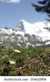 Flowers and the Matterhorn in Switzerland, portrait.
