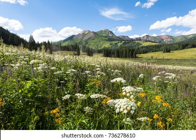 Flowers in meadow at County Road 317 North of Crested Butte, CO, USA