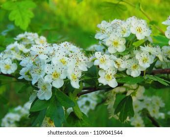 flowers of midland hawthorn, Crataegus laevigata,