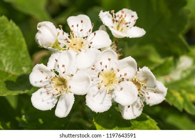 Flowers of the midland hawthorn (English hawthorn, Crataegus laevigata)