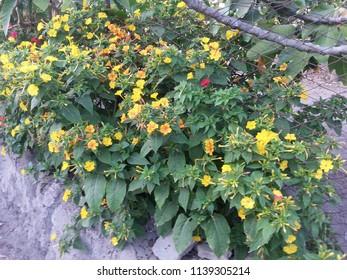 Flowers of Mirabilis jalapa, the wonder of Peru