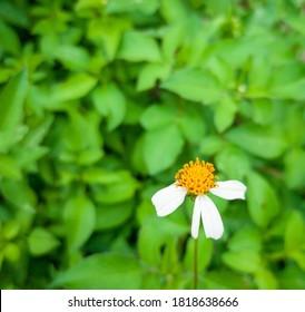 Flowers mosquito repellent or Tanacetum cinerariaefolium (Trev) Sch. Bip flower in garden.