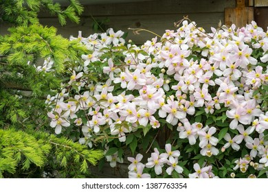 Flowers of mountain clematis (Clematis montana) growing on a fence in an urban garden