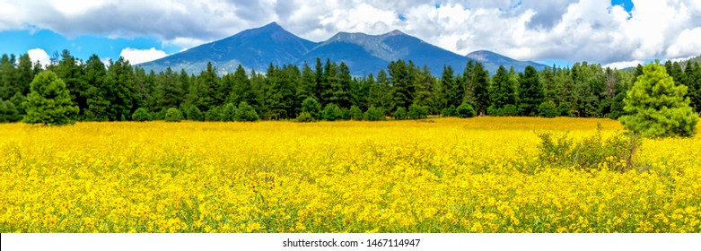 Flowers and mountains. Panoramic image of a field of Mexican sunflowers in Flagstaff, Arizona. Fort Valley flower field, covered in wildflowers with San Francisco Peaks in the background.
