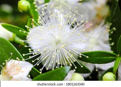 Flowers of myrtle or Myrtus communis close-up on a dark background.