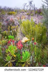 Flowers near the camp Horombo (3700 m) on the slope of mount Kilimanjaro - Tanzania, East Africa