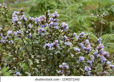 Flowers of Neelakurinji (Strobilanthes kunthianus), which bloom once in 12 years in Kerala, India.