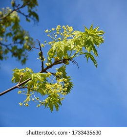 Flowers and new Maple tree leaves on a twig by a blue sky