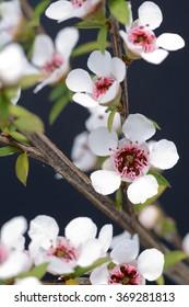 Flowers of New Zealand manuka, Leptospermum scoparium, a popular source of medicinal honey