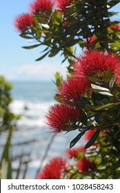 Flowers of New Zealand pohutakawa, Metrosideros excelsa, frame a beach scene on the West Coast, South Island, New Zealand.