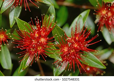 Flowers of New Zealand Southern Rata brighten the day for visitors to the Otira Gorge in Arthurs Pass National Park, New Zealand.