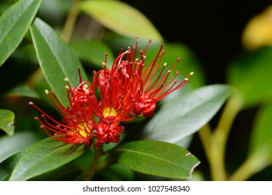 Flowers of New Zealand Southern Rata open up during summer at the Otira Gorge in Arthurs Pass National Park, New Zealand.