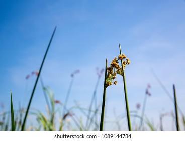 Flowers in the Okavango Delta in Botswana