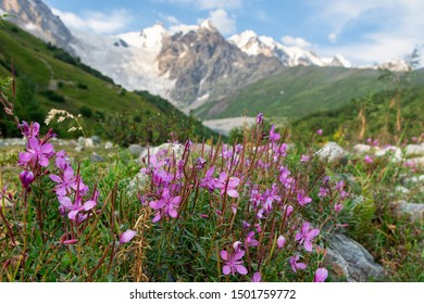 Flowers on a background of Caucasus Mountains, Mountain Valley, Adisha Glacier, Svaneti, Caucasus, Georgia