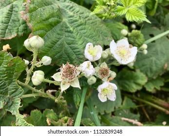 Flowers on blackberry bush, Seaton Carew Sand Dunes, Hartlepool, England