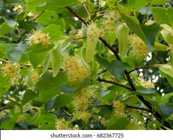 Flowers on a branch of a linden tree close up