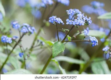 Flowers on Brunnera 'Jack Frost'