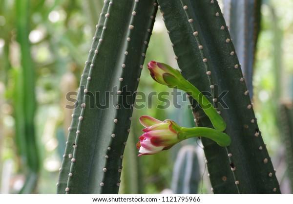 Flowers on cactus, purple flowers.