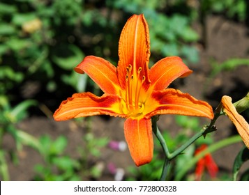 Flowers on the flowerbed. The tiger lily (Lilium lancifolium or Lilium tirginum) and the day lily (Hemerocallis spp.) Never fail to brighten the summer garden with their attractive flowers.