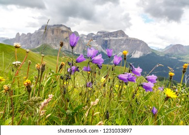 Flowers on meadows above Val di Fassa, Dolomites, Italy