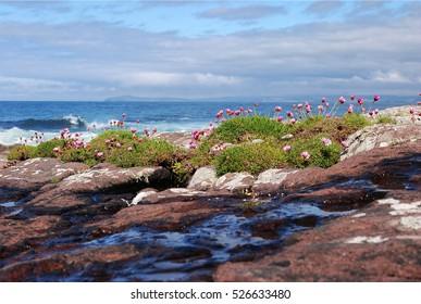 Flowers on Rocks, Scottish Highlands Sea Horizon, Nature Landscape of Scotland, United Kingdom