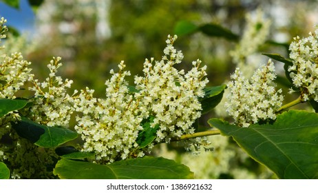 Flowers on Sakhalin knotweed or Reynoutria sachalinensis close-up with bokeh background, selective focus, shallow DOF.