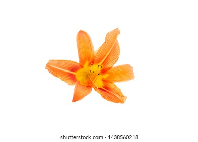Flowers of an orange daylily on a white isolated background. Beautiful flowers. Decorative items.