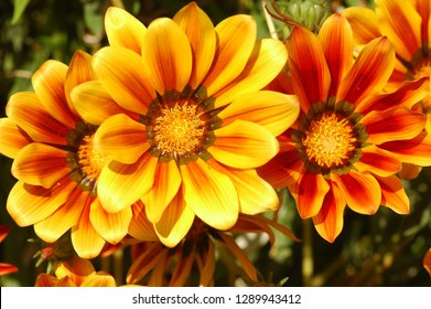 Flowers. Orange and red flowers beautiful of floral in natural with blur of fresh background. Flower garden. Gazania.