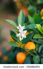 Flowers of an orange tree