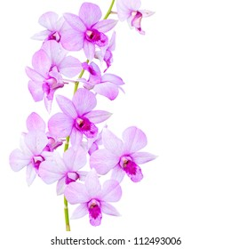 Flowers Orchid (  Dendrobium pink )  isolated on white background.