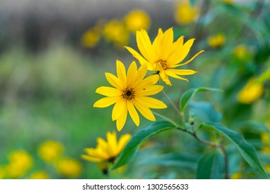 Flowers of the ornamental plant Maximilian sunflower (Helianthus maximiliani).